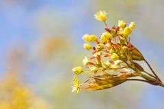 Frühlingsnaturlandschaft mit Ahornbaum blüht Makroansicht frische Blätter gegen Sonnenlicht Weicher Fokus Flache Tiefe von Stockfotos