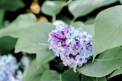 Frühlingsnaturschönheits-Blumenflieder im Garten Stockfotografie