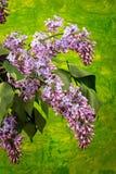 Frühlingsniederlassung der blühenden Flieder Stockbilder