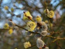 Frühlingsniederlassung mit allen Stadien der Blüte Lizenzfreies Stockbild