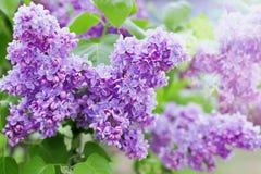 Frühlingsniederlassung von lila Blumen, natürlicher Hintergrund, reizende Landschaft der Natur Lizenzfreies Stockfoto