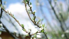 Frühlingsniederlassungen des Apfelbaums mit jungen schönen weißen Blumen gegen den Himmel Zeitlupe volles hd 1080p stock video footage