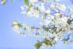 Frühlingsniederlassungs-Kirschblütennahaufnahme, sonniger Tag der weißen Blume, a Lizenzfreie Stockfotografie