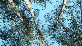 Frühlingspark mit vielen Bäumen, sonniger Tag, Kiefer, Fichte gegen den blauen Himmel, Wald, stock video footage