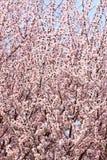 Frühlingspfirsichblumen Stockfoto