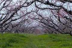 Frühlingspfirsichwald Lizenzfreies Stockbild