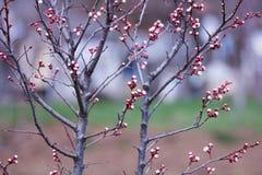 Frühlingspflaumenknospen Lizenzfreie Stockfotos