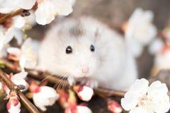 Frühlingsporträt von Jungar-Hamster Lizenzfreies Stockbild