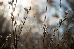 Frühlingspussyweide blüht in der Sonne mit Wassertropfen Lizenzfreie Stockfotografie