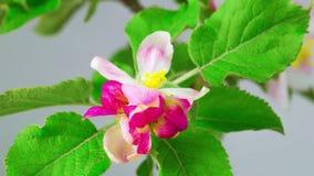 Frühlingsrotblumen stock video