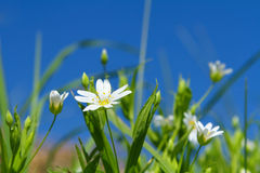 Frühlingssandkrautblumen Stockbild