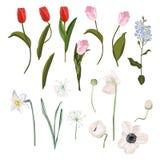 Frühlingssatz der rosaroten Tulpe, Blätter, blühende Anemonen, Narzisse, Vergissmeinnicht blüht, die botanische lokalisierte Illu vektor abbildung
