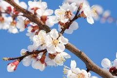 Frühlingsschönheit Lizenzfreies Stockbild