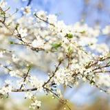 Frühlingsschönheitshintergrund Blühende weiße Blumen von Bäumen Stockfotografie