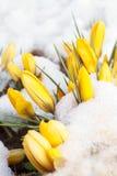 Frühlingsschnee auf gelben Blumen Lizenzfreie Stockfotografie