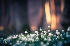 Frühlingsschneeflocke blüht die Blüte und blüht in der natürlichen Umwelt des Waldes, Holz Frühlingshintergrund mit starkem bokeh Lizenzfreie Stockfotos