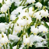 Frühlingsschneeflocken Stockbilder