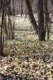 Frühlingsschneeflocken Stockfotografie
