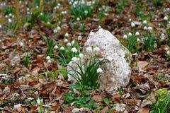 Frühlingsschneeflocken auf Waldboden Stockbilder