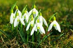 Frühlingsschneeglöckchen Stockfotos