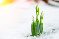Frühlingsschneeglöckchen blüht vom Schnee mit Sonnenstrahlen herauskommen Stockbild