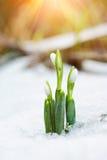 Frühlingsschneeglöckchen blüht vom Schnee mit Sonnenstrahlen herauskommen Stockbilder