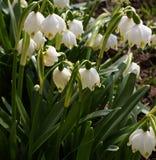 Frühlingsschneeglöckchen, schneeweiße Blumen Lizenzfreies Stockfoto