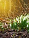 Frühlingsschneeglöckchenblumen, die am sonnigen Tag blühen Frühling in der Höhle Stockbild