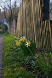 Frühlingsschwingungen Narzisse - verschiedene allgemeine Namen einschließlich Narzisse daffadowndilly Narzisse und Jonquille stockfotos