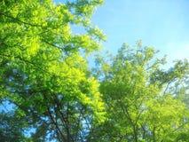 Frühlingssonnenlicht in den Treetops der Akazie Stockbilder