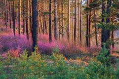 Frühlingssonnenuntergang in einem Kiefernwaldrhododendron blüht Stockfotografie
