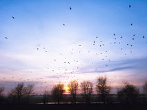 Frühlingssonnenuntergang mit Amseln im Himmel Stockfotografie