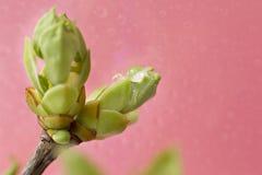 Frühlingssprösslings-Frühlingsgrün im Regen auf einem rosa Hintergrund Lizenzfreie Stockfotos