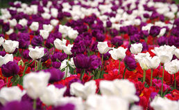 Frühlingstulpe blüht Hintergrund Lizenzfreies Stockfoto
