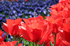 Frühlingstulpegarten Stockfoto