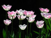 Frühlingstulpen Stockfoto