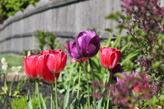 Frühlingstulpen Lizenzfreie Stockfotografie