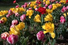 Frühlingstulpen, Blumenhintergrund stockfoto