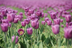 Frühlingstulpenfeld Lizenzfreie Stockbilder