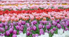 Frühlingstulpenfeld im Garten Stockbild
