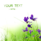 Frühlingsveilchenblume Lizenzfreies Stockfoto