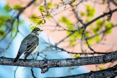 Frühlingsvogel Stockfoto