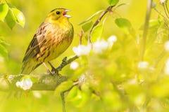 Frühlingsvogel singt das Sitzen unter grünen Blättern Lizenzfreie Stockfotografie