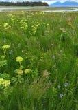 Frühlingswachstum im alaskischen Sumpfgebiet Stockbilder