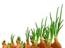 Frühlingswachstum von Zwiebeln Stockfotos