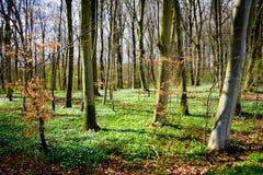 Frühlingswald - Dänemark Lizenzfreie Stockfotos