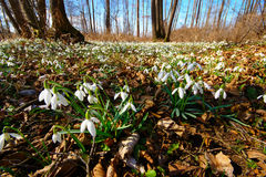 Frühlingswald mit snowdrops Stockfoto