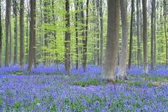 Frühlingswald mit vielen violetten Blumen stockbild