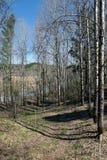 Frühlingswald von Birken und von Kiefern Lizenzfreies Stockfoto