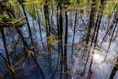 Frühlingswald wird im Sumpf am sonnigen Tag reflektiert stockbild